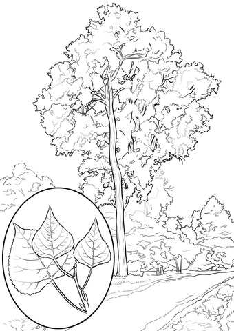 Eastern Cottonwood coloring page