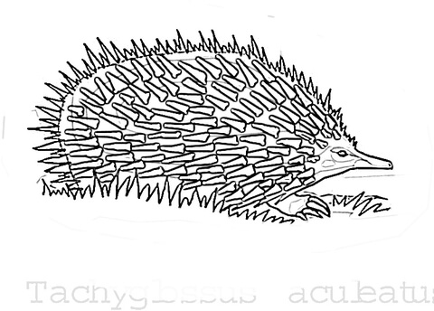 Echidna In The Grass  coloring page