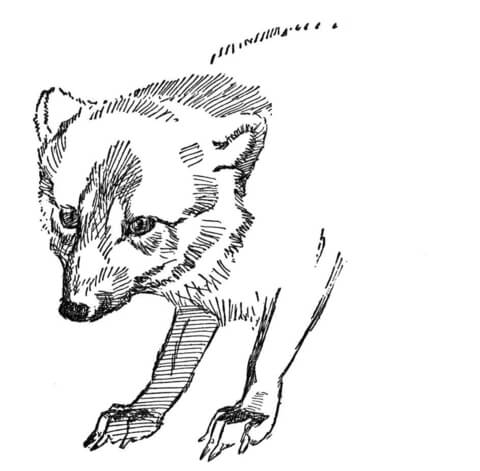 Face Of Arctic Fox coloring page