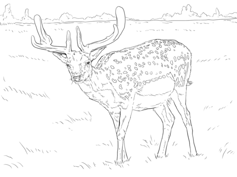 Fallow Deer coloring page