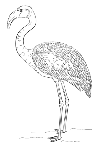 Lesser Flamingo coloring page