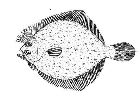 Flounder 2 coloring page