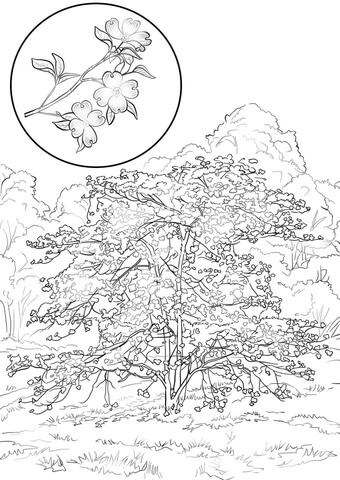 Flowering Dogwood Cornus Florida Coloring page
