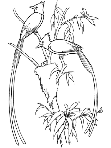 Flycatcher Birds coloring page
