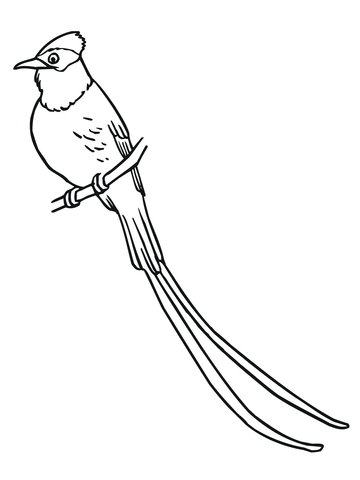 Flycatcher coloring page