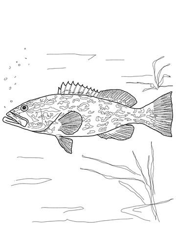 Gag Grouper coloring page