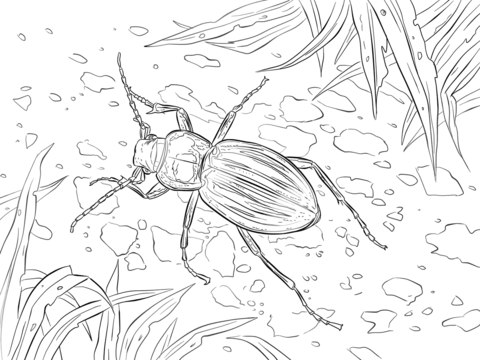 Golden Ground Beetle coloring page