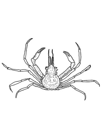 Graceful Decorator Crab coloring page