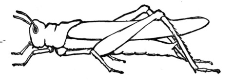 Grasshopper 9 coloring page