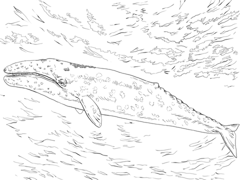 Gray Whale coloring page