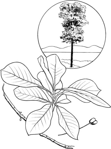 Black tupelo or black gum tree coloring page