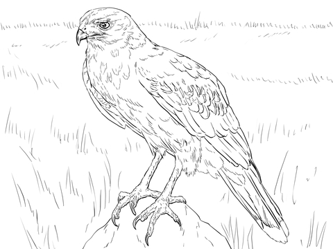 hawk 23 coloring page harris hawk coloring page