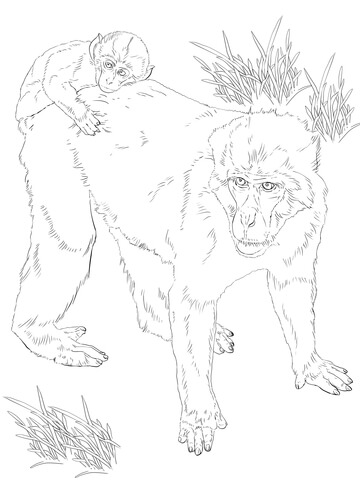 pygmy marmoset coloring pages - photo#24
