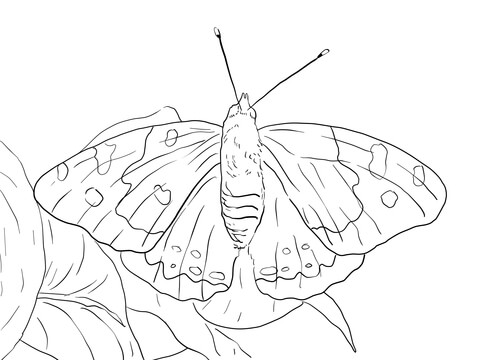 Kamehameha Butterfly coloring page