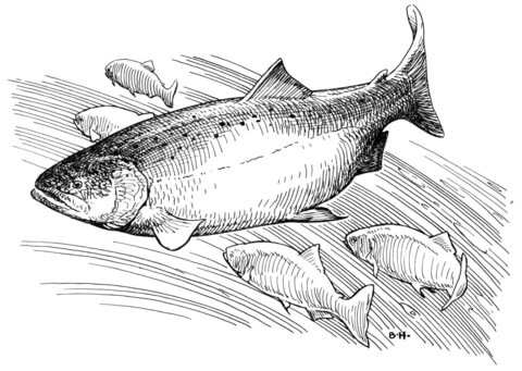 King Salmon coloring page