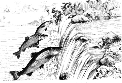 Leaping Pacific Salmon coloring page