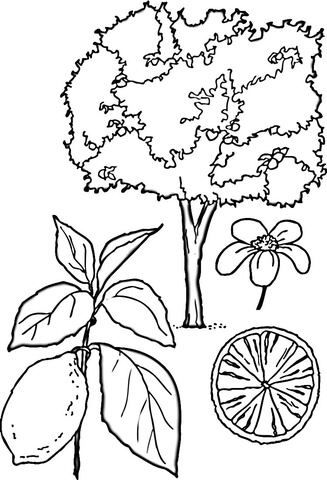 Lemons Tree  coloring page
