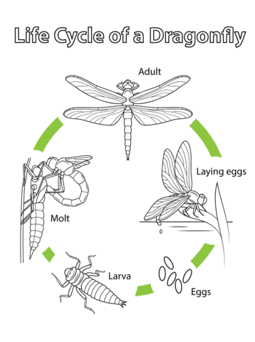 Life Cycle of a Dragonfly coloring page