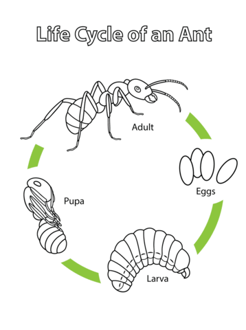 Life Cycle of an Ant coloring page
