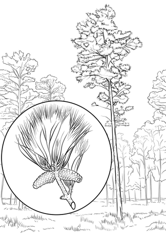 Loblolly Pine coloring page