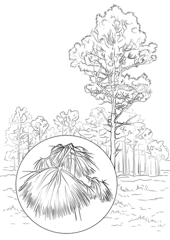 Longleaf Pine coloring page