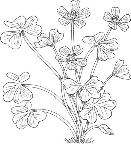 Wood sorrel Montana Flowers coloring page