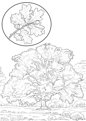 Northern Red Oak coloring page