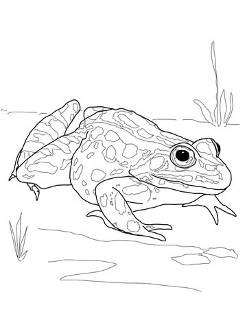Nothern Leopard Frog coloring page