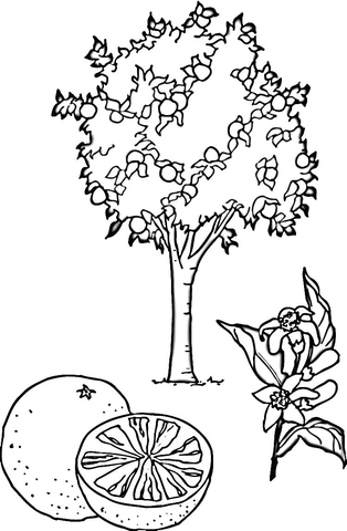 Orange Tree  coloring page