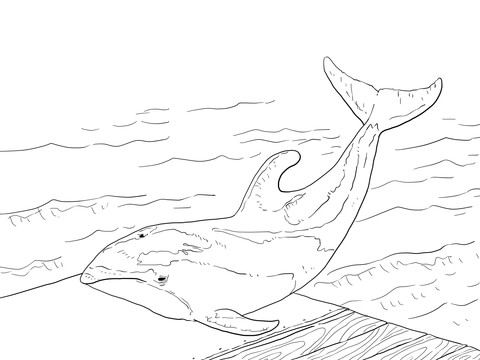 Pacific White Sided Dolphin Coloring Page