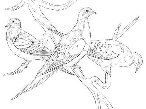 white winged dove coloring page free printable coloring pages