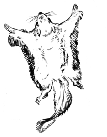 Flying Squirrel coloring page
