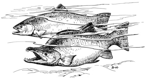 Pink Salmon coloring page