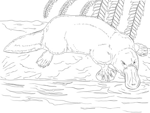 Platypus on a Bank coloring page - Free Printable Coloring Pages