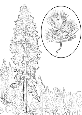 Ponderosa Pine coloring page