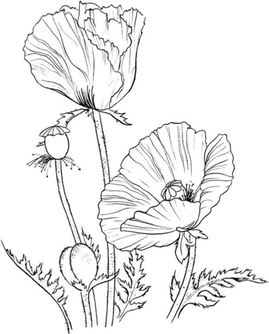 Oriental poppy coloring page