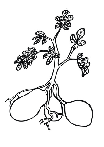 Potato Plant coloring page