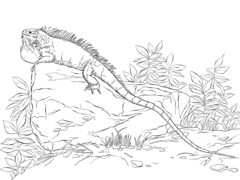 Realisitc Green Iguana Coloring Page Free Printable Coloring Pages