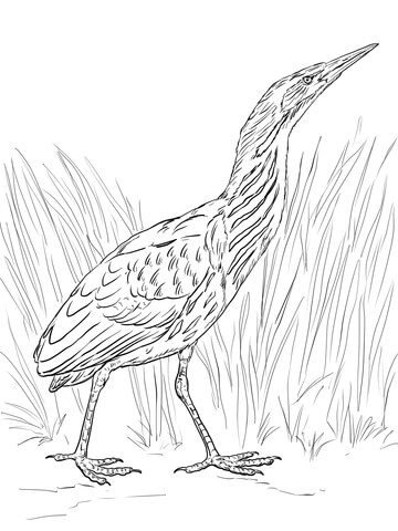 Realistic Bittern coloring page