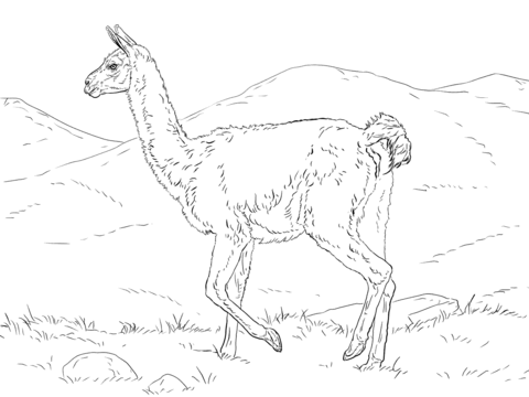 Realistic Guanaco coloring page