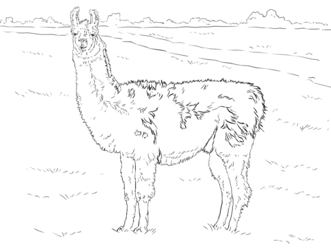 realistic llama coloring page free printable coloring pages