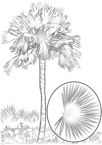 Sabal Palm coloring page