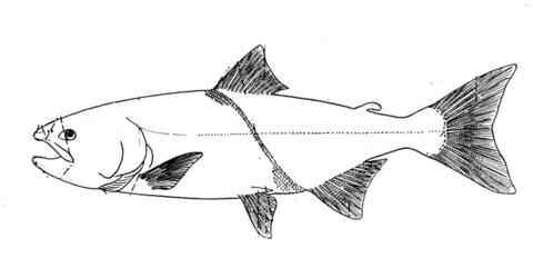 Salmon 3 coloring page
