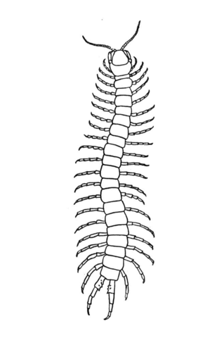 Scolopendra coloring page