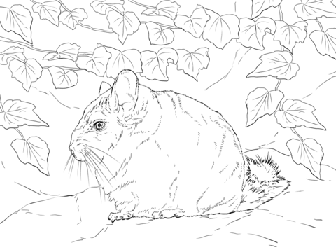 Short Tailed Chinchilla coloring page