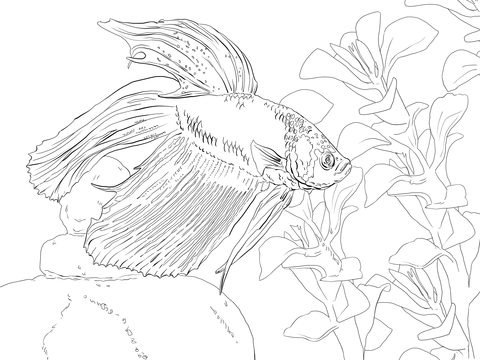 Siamese Fighting Fish coloring page