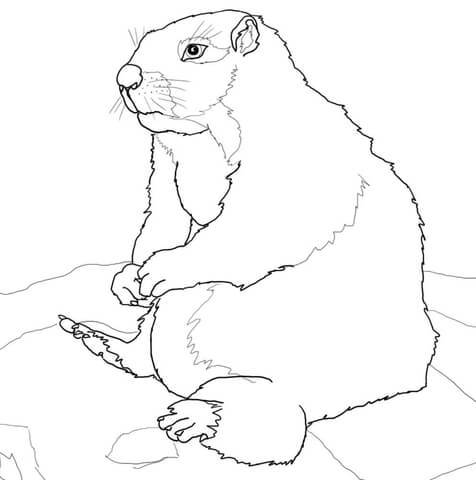 Sitting Yellow Bellied Marmot coloring page