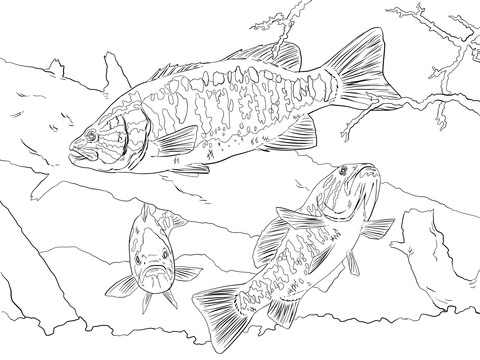 Smallmouth Bass coloring page