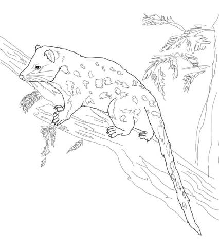 eastern quoll coloring page spotted tail quoll coloring page