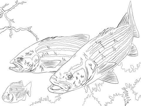 Striped Bass coloring page